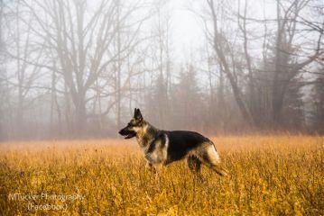 karma germanshepherd germanshepherddog fog foggyday