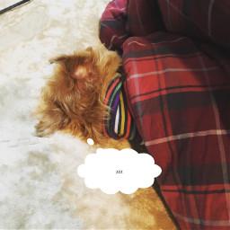 petlove freetoedit dog brusselsgriffon