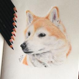 art drawing shibainu akita dog