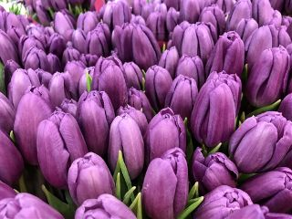 tulips nature flowers violet spring freetoedit