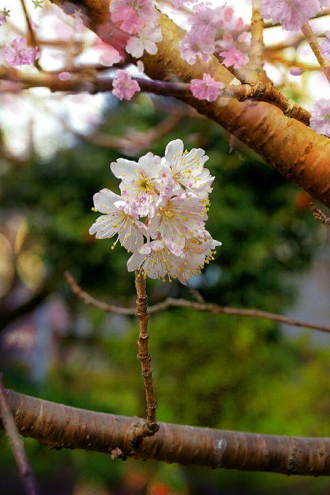 cherryblossom spring photography freetoedit