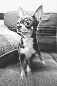 freetoedit chihuahua puppy blackandwhite