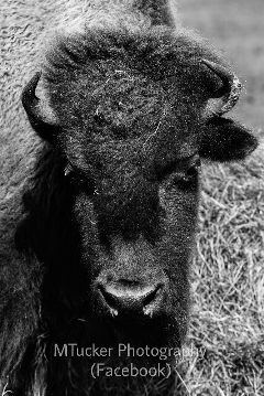blackandwhite photography petsandanimals buffalo